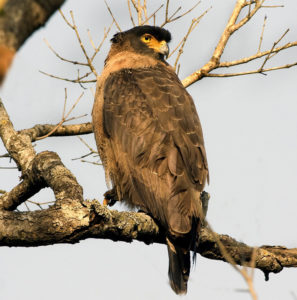 crested serpent eagle (chotaliyo sapmar)-5